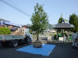 樫木1.png